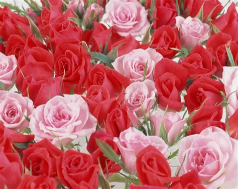 Google Pink Roses | pink rose flower tumblr google search flowers red