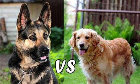 golden retriever vs rottweiler golden retriever vs german shepherd which is the best family pet for you
