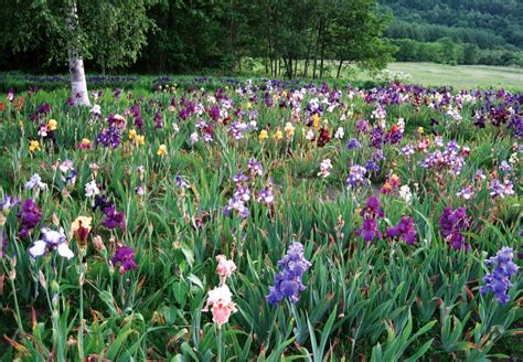 iris flower garden ito iris garden flower farms and gardens visit enjoy