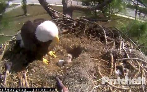 southwest florida eagle cam southwest florida eagle cam welcomes new eaglets