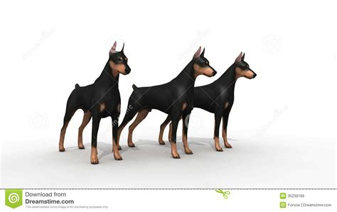 how to doberman to be a guard doberman protection stock illustration image of home 35239189