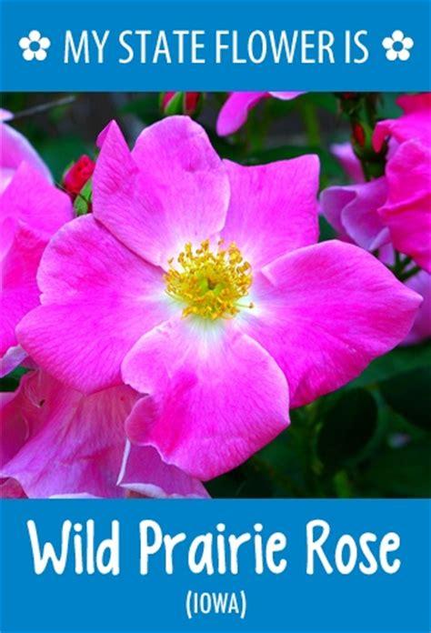 iowa s state flower iowa pinterest iowa s state flower is the wild prairie rose what s your