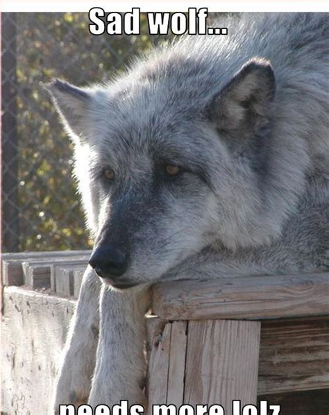Wolf Pack Meme - lone wolf meme pictures to pin on pinterest pinsdaddy