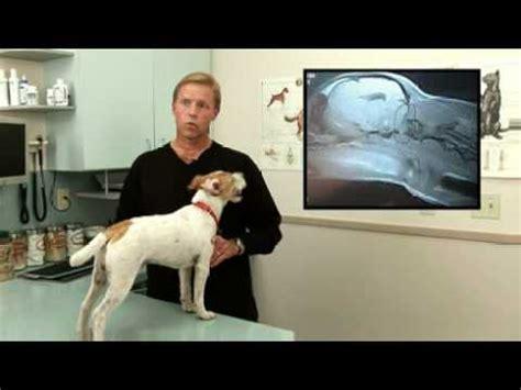 syringomyelia in dogs syringomyelia sm treatments funnydog tv