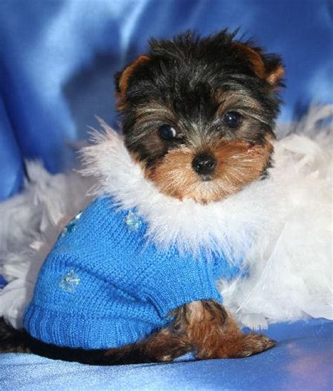 mating yorkies yorkie image search results