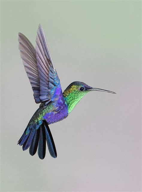 drawn hummingbird majestic bird pencil and in color