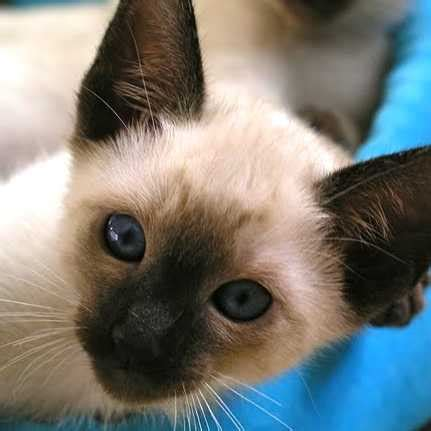 haircut sale denver siamese cat for sale ads free classifieds