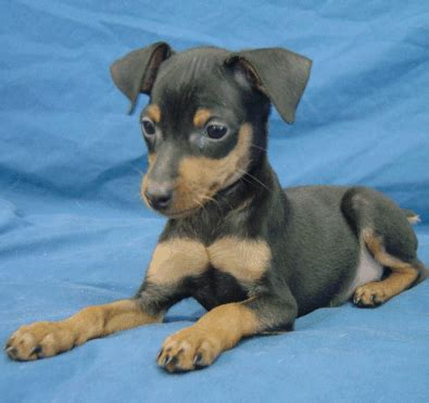 chihuahua min pin puppies min pin puppy pictures png