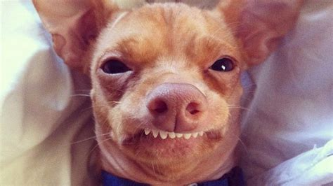 instagram dogs meet tuna the chiweenie instagram s cutest with an overbite