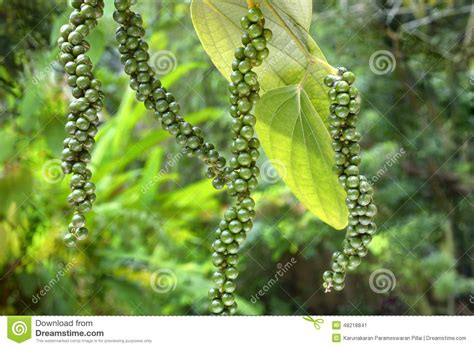 climbing plants india spices pepper four stalks on plant stock image image