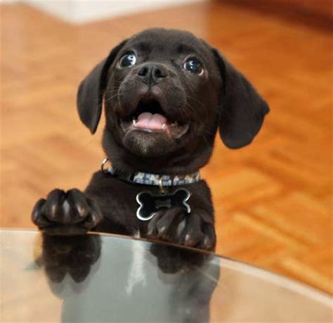 black puggle puppies black and brown puggle puppy breeds picture