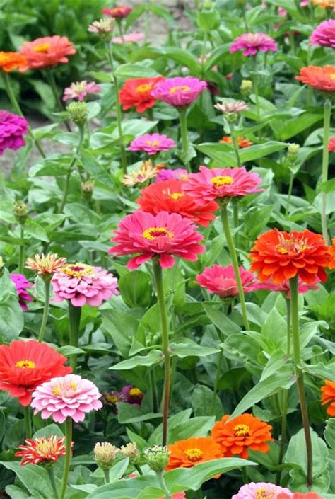 Zinnias Flower Garden 25 Best Ideas About Zinnias On Zinnia Garden
