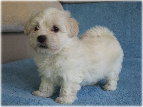 havanese and bichon mix bichon frise havanese mix www imgkid the image kid has it