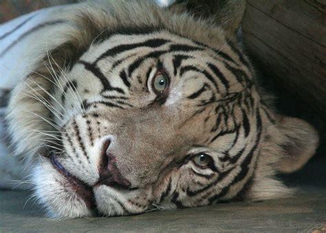 imagenes impactantes de felinos fotos de felinos en quot hd quot impresionantes taringa