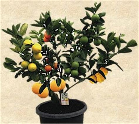 what is a fruit salad tree 25 best ideas about fruit salad tree on