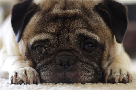 about pugs as pets facts about pugs