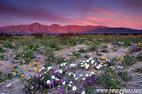 anza borrengo wildflowers anza borrego wildflower pictures photos of santa rosa