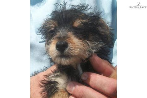 yorkie poo rescue my cousins new yorkiepoo yorkie poo puppies photo breeds picture