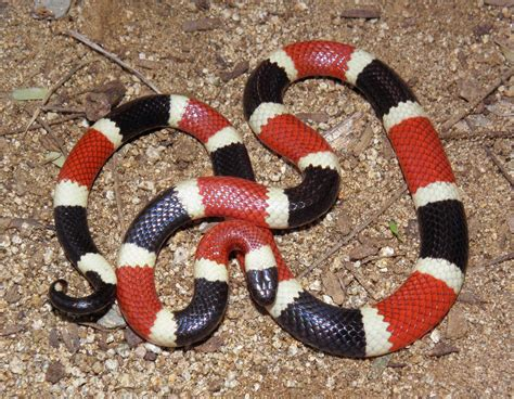 snake pattern red black yellow the science questionnaire 24 what is evolution part 3 of