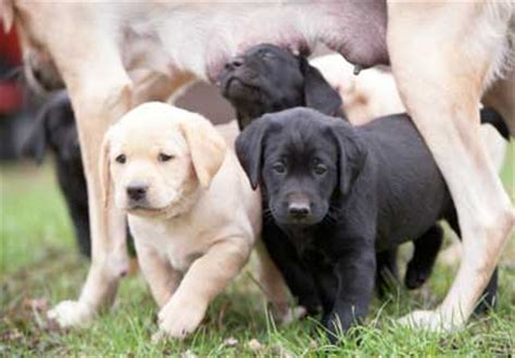 lab puppies for sale in mn black labrador retriever puppies for sale in minnesota
