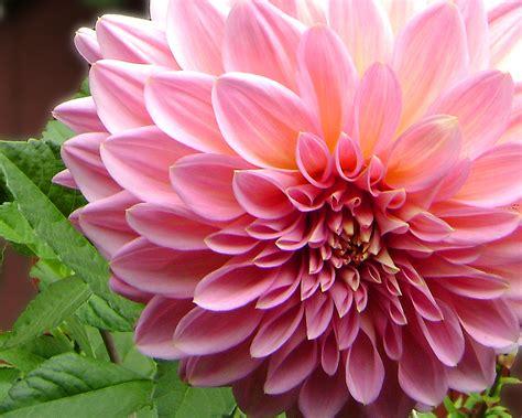 imagenes de flores i rosas flores dalia biography