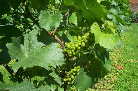 file grapes on a vine jpg wikimedia commons