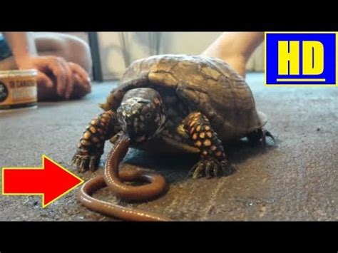puppy hiccups worms and tortoise compilation doovi