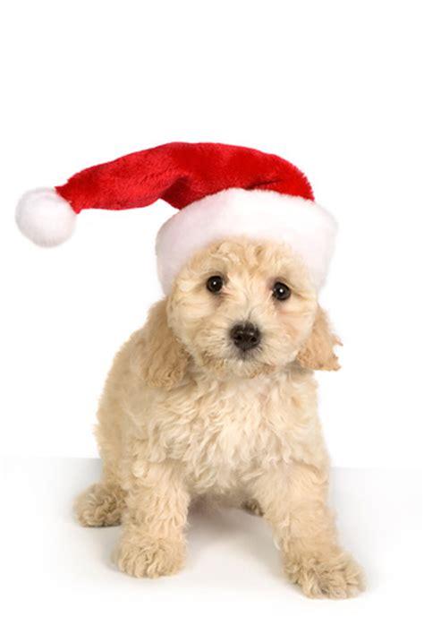 santa puppy santa hat animal stock photos kimballstock