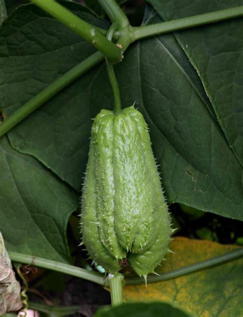 shallow rooted vegetables opiniones de sechium edule