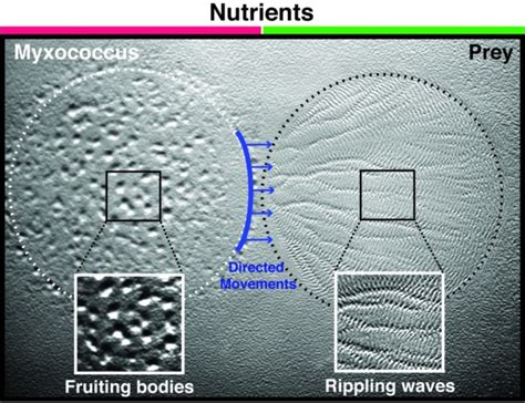 gyrotactic pattern formation of motile microorganisms in turbulence laboratoire de chimie bact 233 rienne umr 7283 cell biology