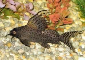 , Synodontis eupterus, Featherfin Catfish, Featherfin Synodontis