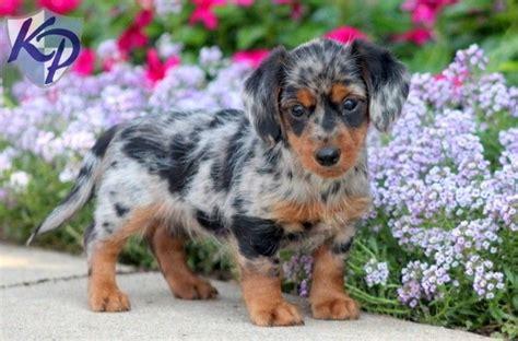 dorkie puppy image gallery mini dorkie