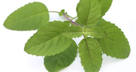 Tulsi Basil To Cure Skin Problems by 10 Health Benefits Of Tulsi Or Holy Basil Read Health