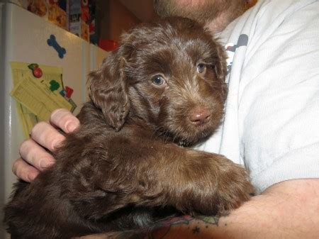 what age to neuter a what is the best age to neuter or spay your aussiedoodle and labradoodle puppies