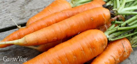 Bites Organic Carrot Flavor growing carrots with character
