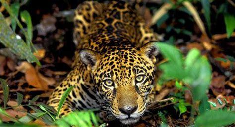 amazonia si鑒e social conex 227 o social biomas brasileiros amaz 244 nia