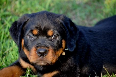 stoney creek rottweilers stoney creek rottweilers puppies