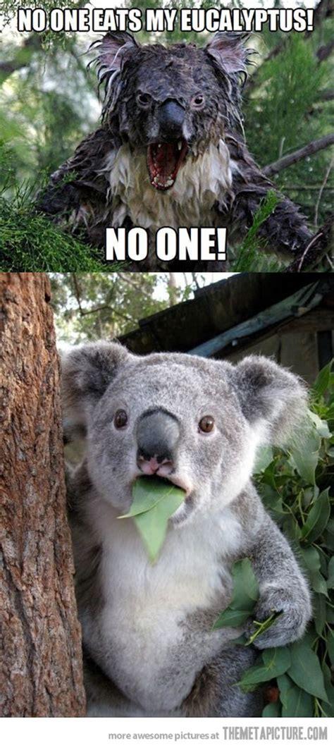 Angry Koala Meme - who ate my eucalyptus the meta picture