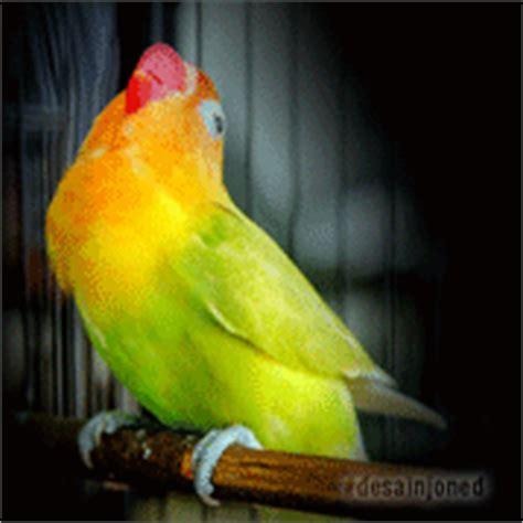 gambar desain lovebird desainya desain edit foto love bird ngekek bergerak gif
