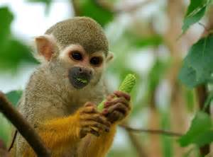 Facts about the squirrel monkey