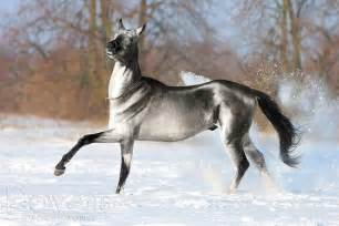 akhal teke colors the akhal teke is a 3 000 year breed from