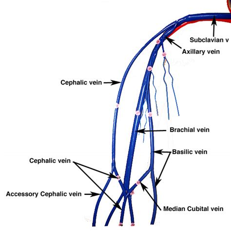 vein diagram of arm location of veins for venipuncture anatomy of the arm for