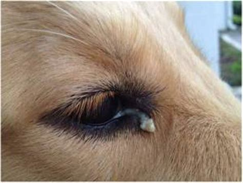 puppy eye boogers eye discharge in dogs causes and treatment pet health