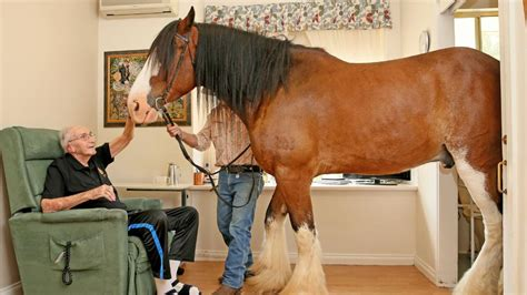 clydesdale horses residents at tarragal house