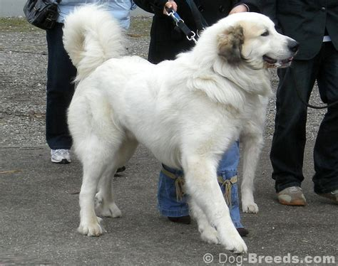 great pyrenees haircuts great pyrenees pictures and informations dog breeds com