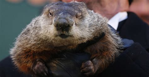 groundhog day shadow groundhog day punxsutawney phil predicts early