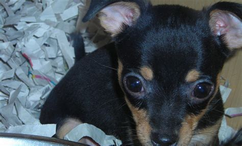 california bans puppy mills california bans puppy mills requires stores to sell only rescue animals