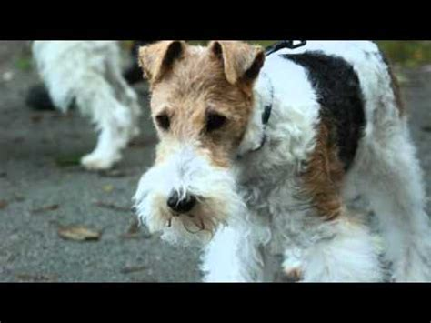 Wire Fox Terrier Shedding by A Soft Coated Wheaten Terrier Puppy From