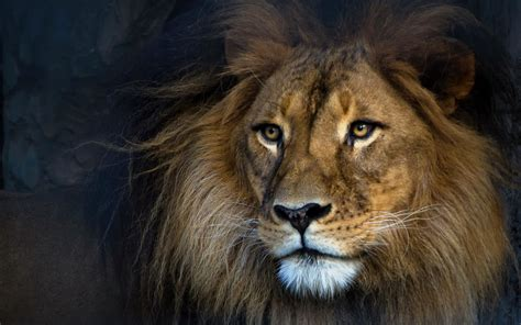 imagenes de leones full hd l 246 we full hd wallpaper and hintergrund 1920x1200 id 596088