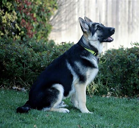 black and silver german shepherd puppies dixie woody pup black and silver german shepherd sinjin 4 months